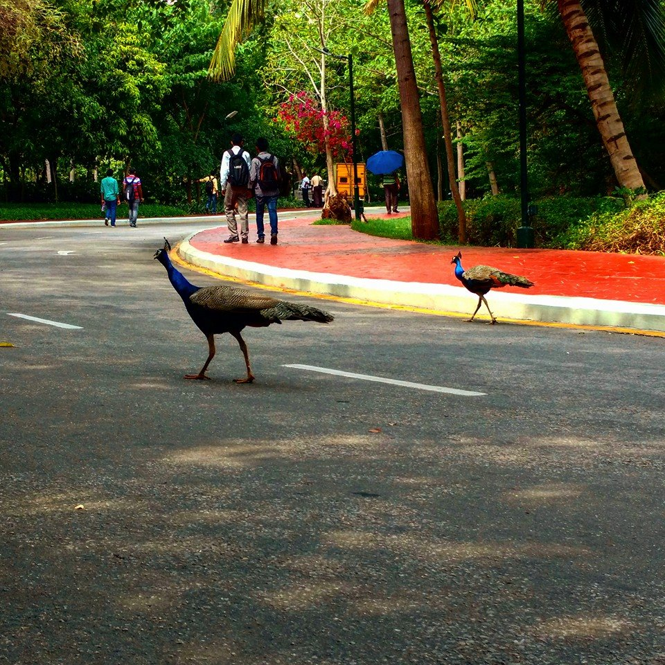 Peacock at Mysore DC